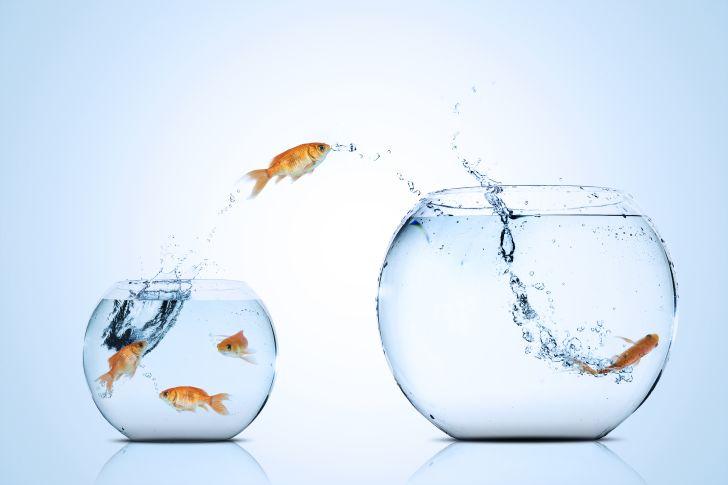 Goldfish jumping between glass bowls.
