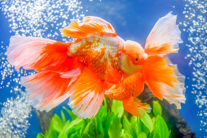 Colorful goldfish in a tank.