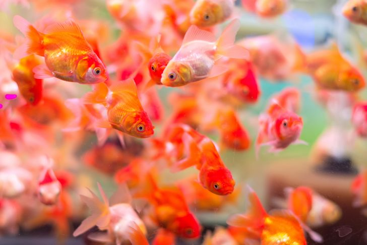Lots of goldfish in a tank