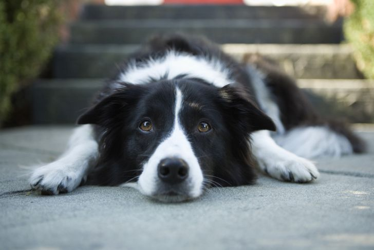 Photo of a Border Collie dog.
