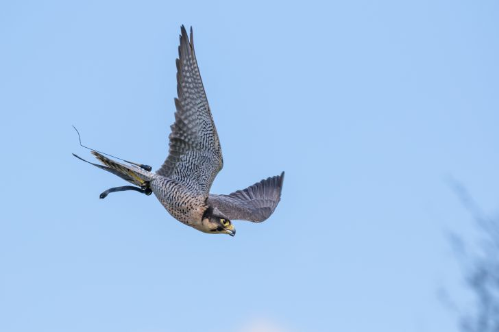 A peregrine falcon flying.