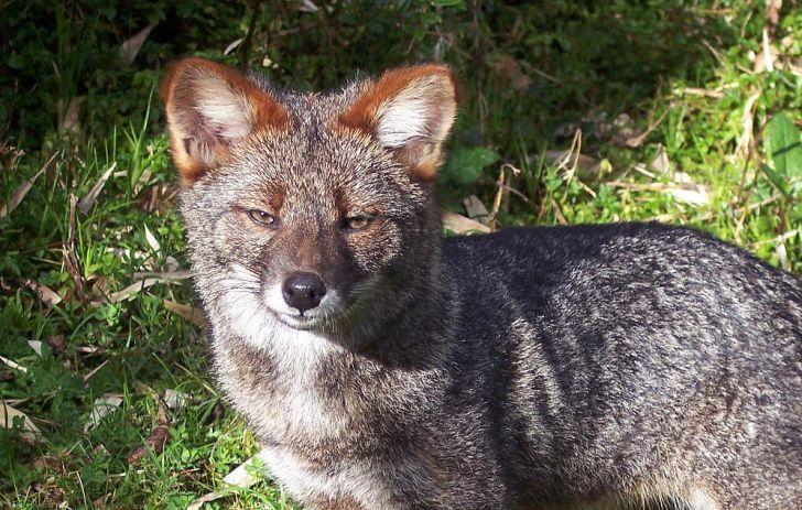 A close-up of Darwin's fox.