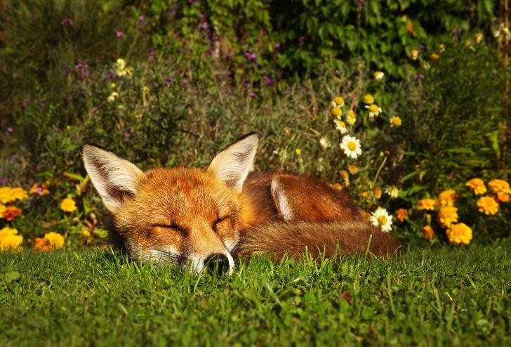 Fox sleeping in a garden.