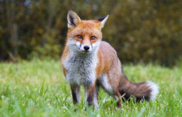A fox standing in a field.