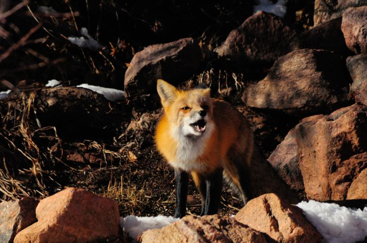 Fox howling.