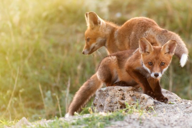 Two fox kits on a rock.