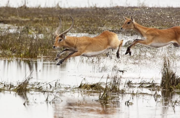 image of an adult male impala leaping across some water