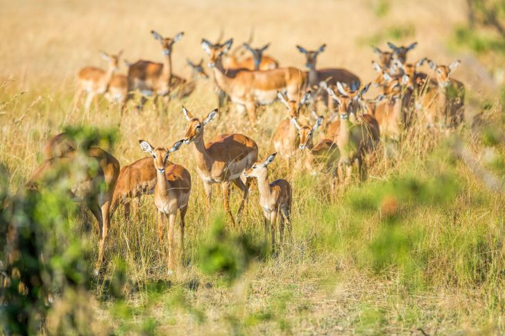 image of a herd of impalas