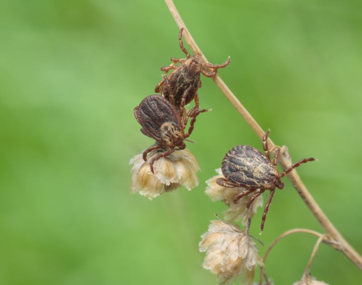 Three ticks crawling on a branch.