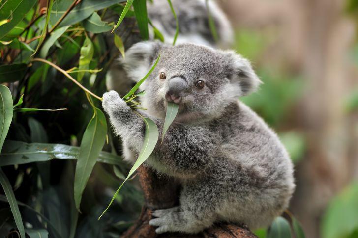Young koala in a tree.