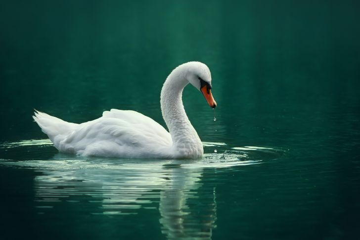 A swan swimming in green waters.