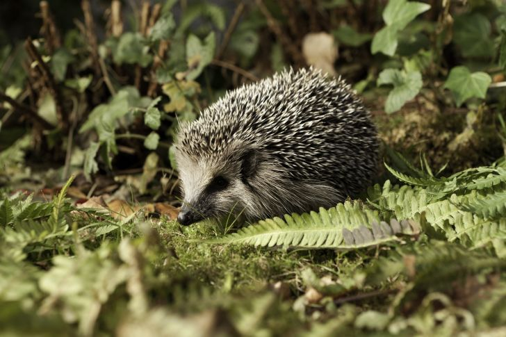 Hedgehog in a garden.