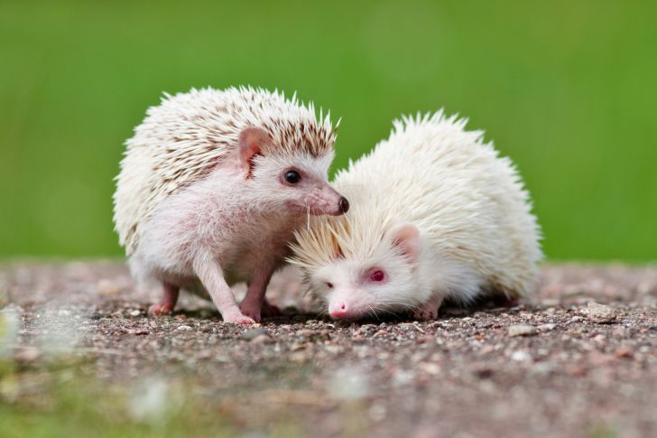 Two African hedgehogs.