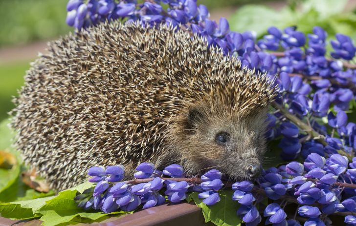 Hedgehog playing in purple flowers.