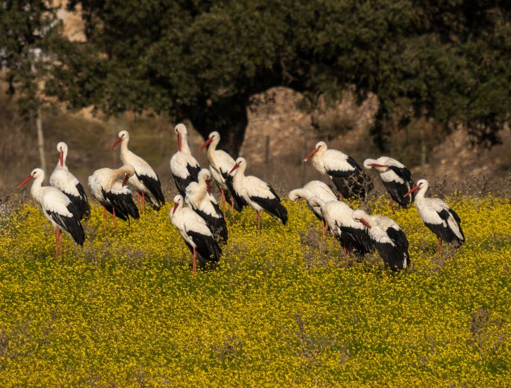 A muster of storks in a flower field.
