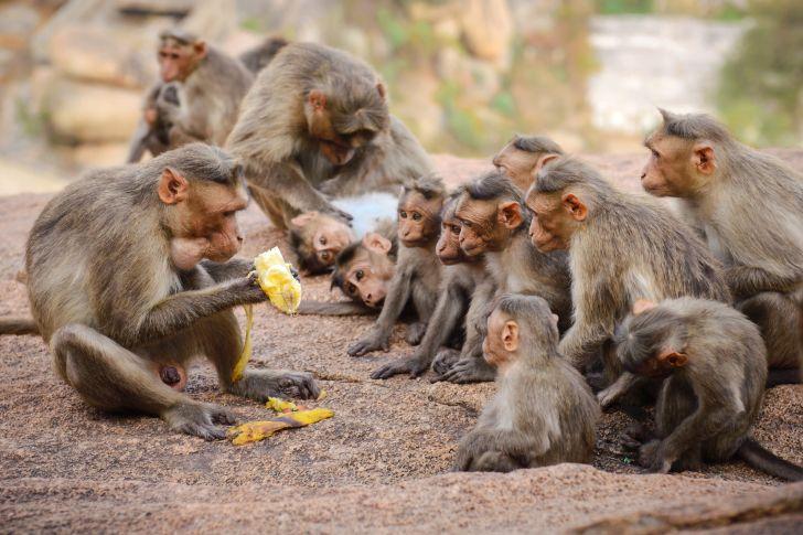 A group of monkeys gathering around a banana.