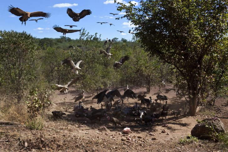 Buzzards and vultures coming over to a carcass.