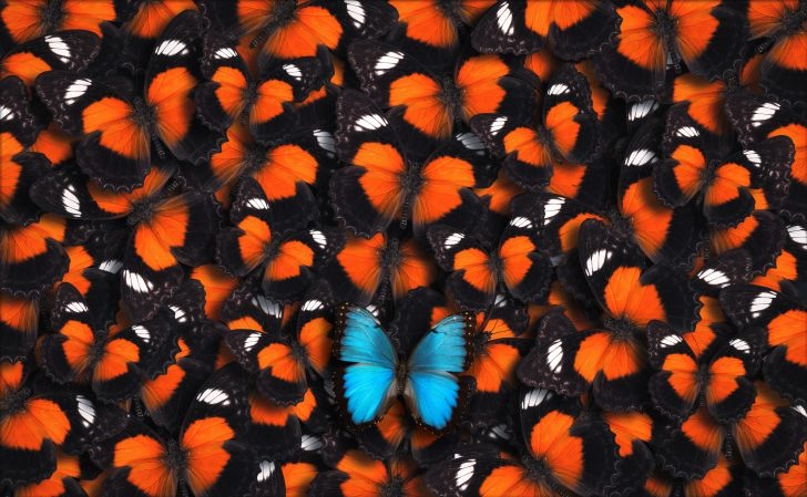 One blue butterfly with a lot of orange butterflies.