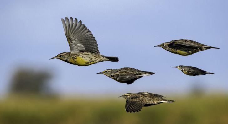 Larks flying across a field.