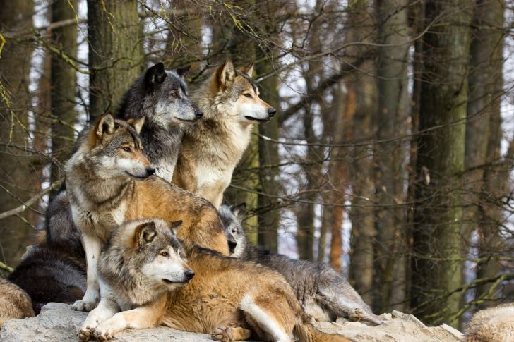 Large pack of wolves.