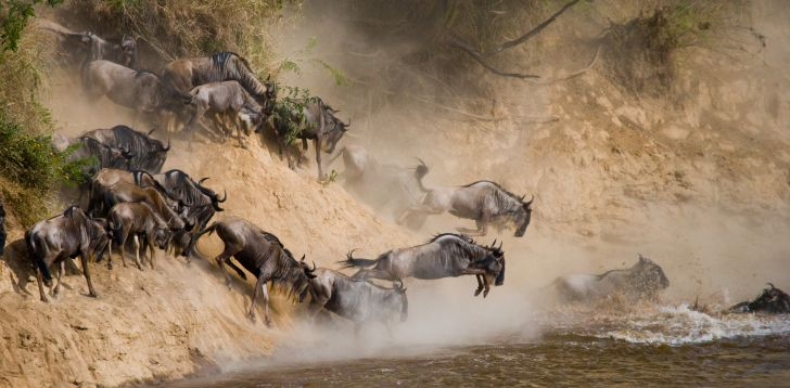 Gnus and wildebeests jumping into the water.