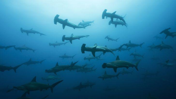 Group of hammerhead sharks in the ocean.