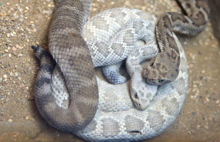 Couple of rattlesnakes.
