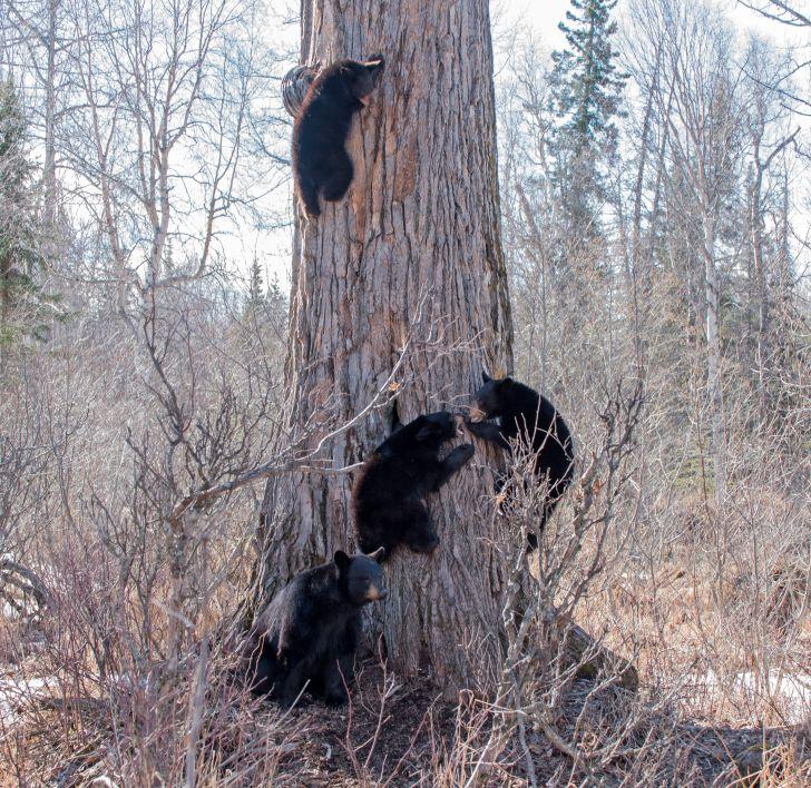 Four bears climbing a tree.