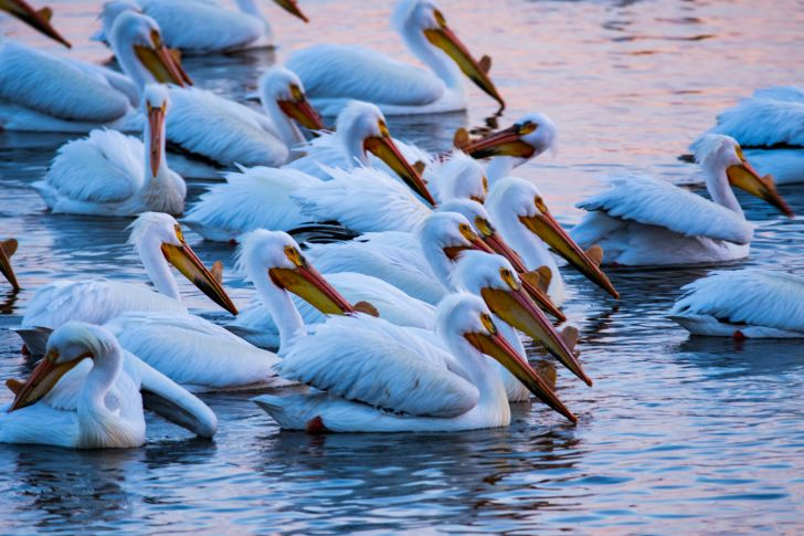 Pelicans swimming on the water.