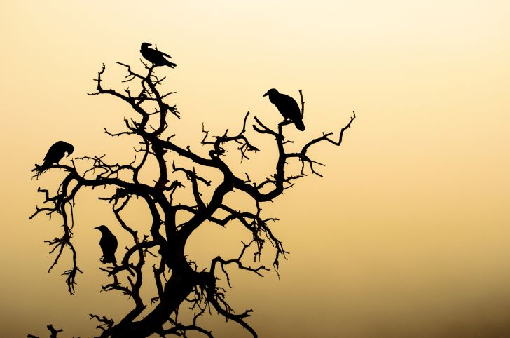 Silhouette of ravens in a tree.