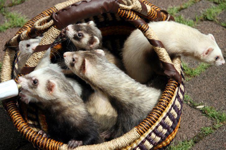 A basket of ferrets.