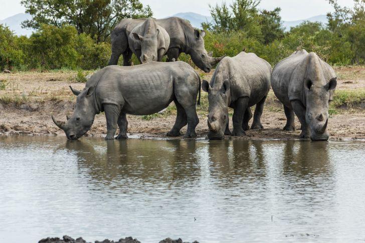Rhinoceroses drinking water.