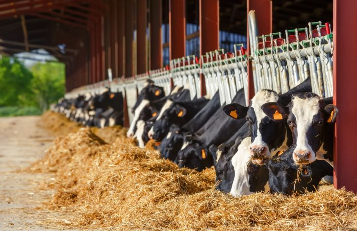 Cows eating hay in a row.