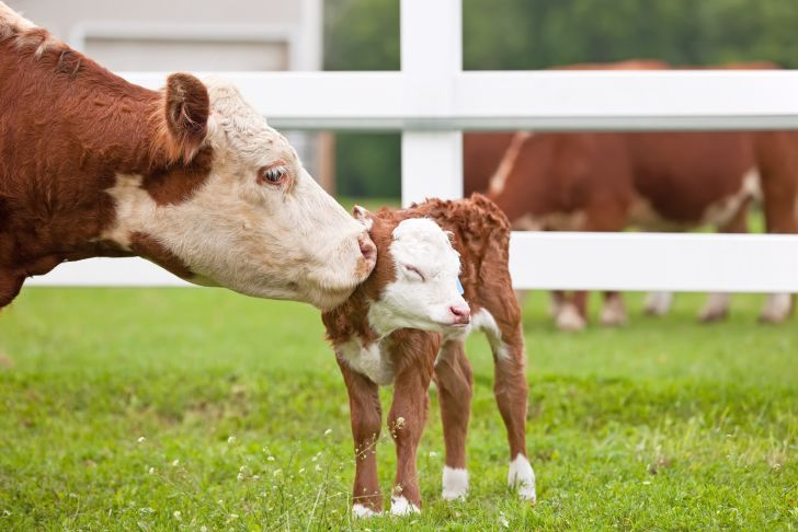 Mother cow licking a baby calf.