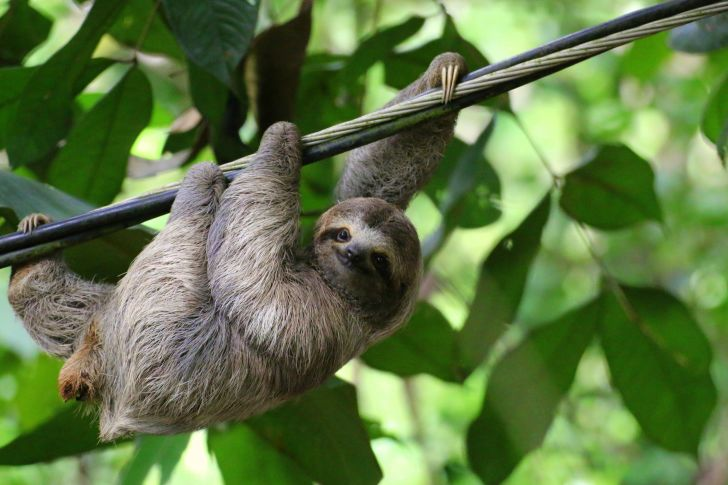 A sloth hanging onto a branch