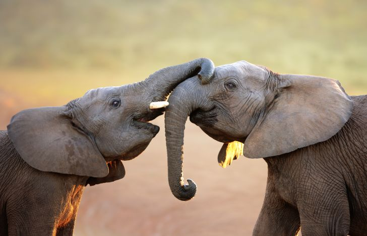 Two baby elephants greet each other with their trunks.