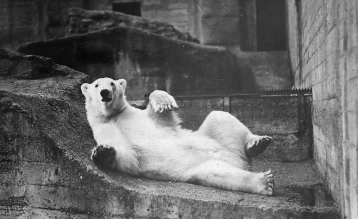 A 1938, black-and-white photo of a polar bear lying on its back in a zoo