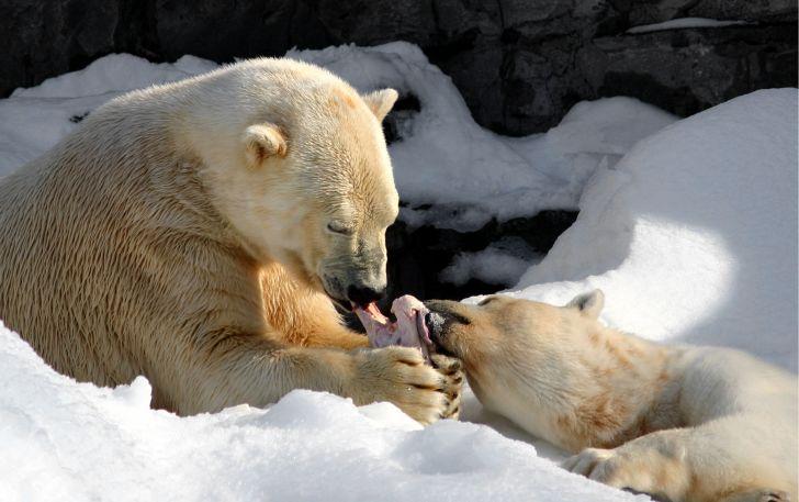 A polar bear shares food with a cub.