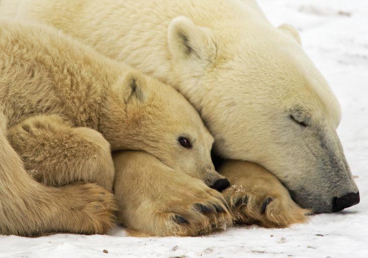A polar bear sleeps cuddled next to her cub.