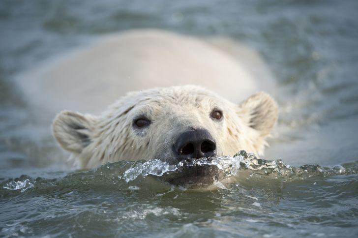 A polar bear swims toward the camera.