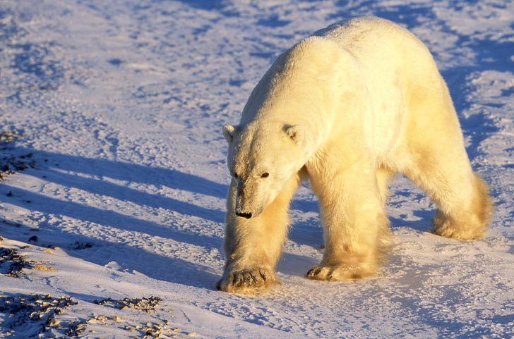 A polar bear walks across the snow at sunset.