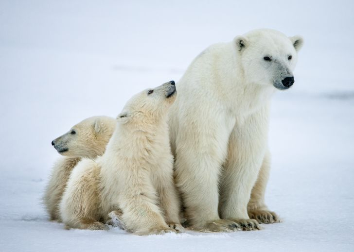 A polar bear sits with her two cubs.