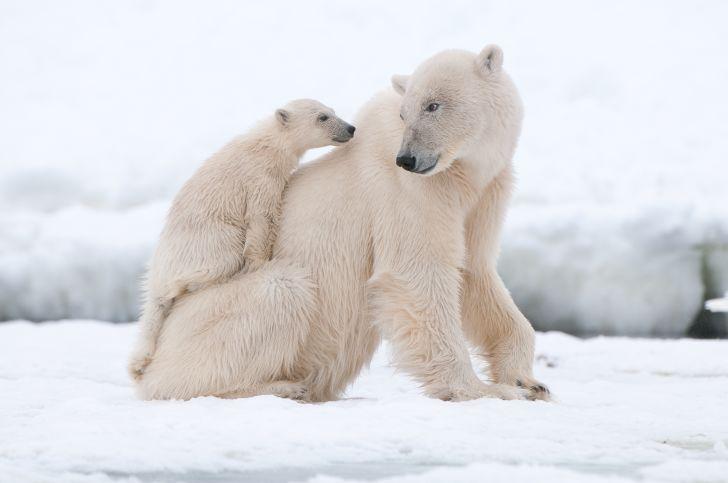 A polar bear cub sits on its mother's back.