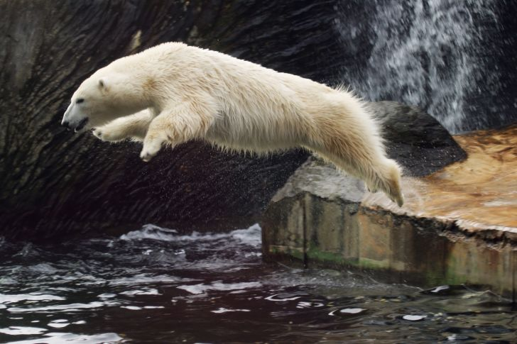 A polar bear leaps into the water.
