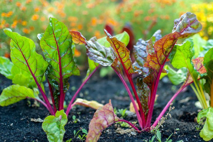 Beet greens poking up through soil
