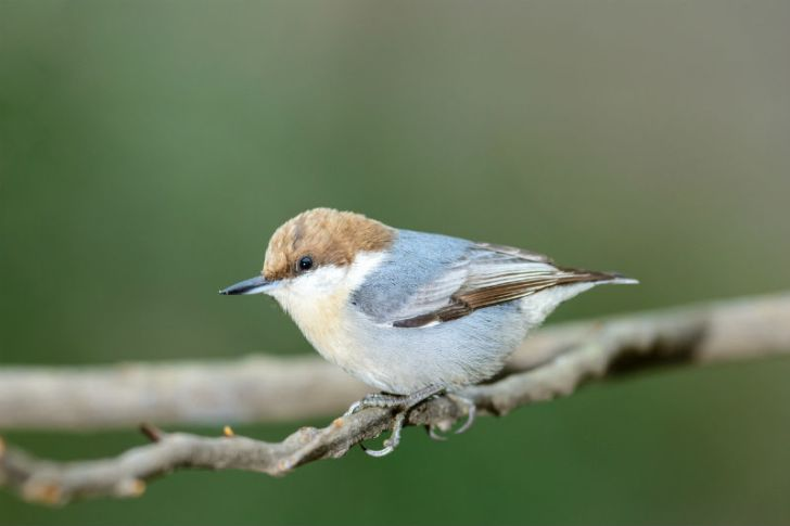 A brown-headed nuthatch perches on a branch