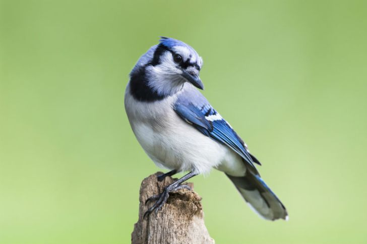A blue jay perches itself and cocks its head