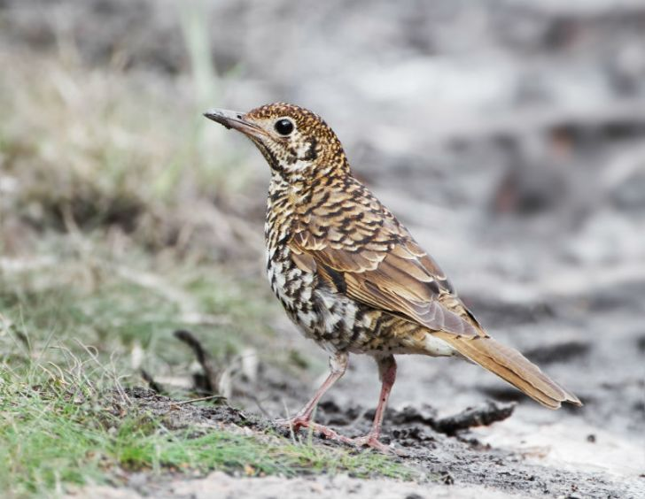 A Bassian thrush stands in a field