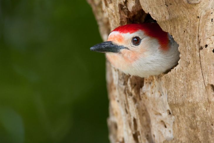 A red-bellied woodpecker sticks its head out of a tree