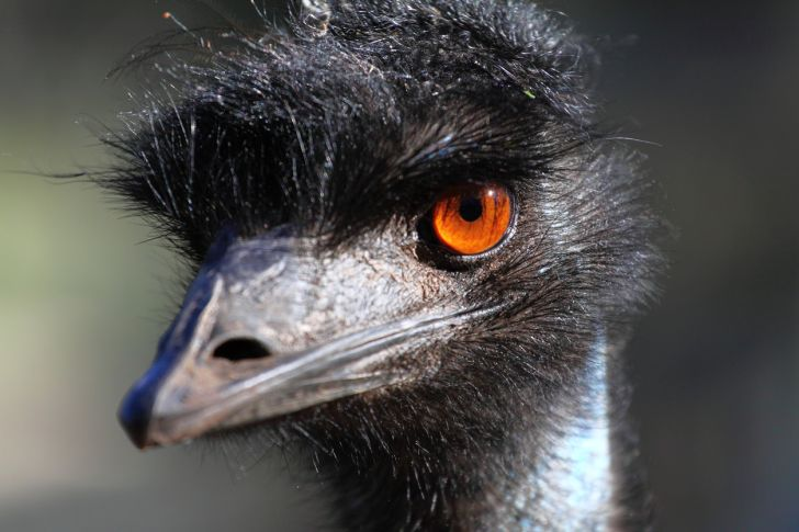Portrait of an emu.